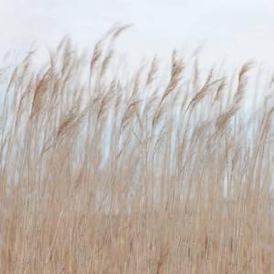 Panoramique sur mesure Swaying Reed