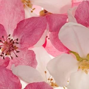 Panoramique Apple Blossom